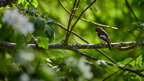 European pied flycatcher in an apple tree