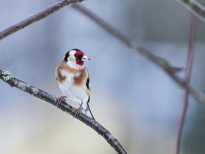 European Goldfinch looking right