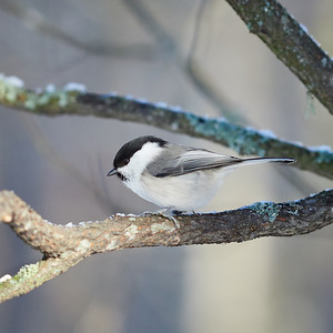 When the light comes out.Willow tit