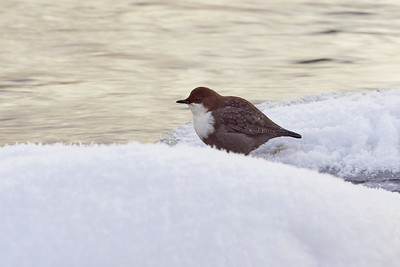 White-throated dipper and the golden stream