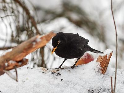 Oh so black. Eurasian Blackbird