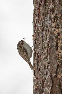 The profile against snowy background. Eurasian treecreeper