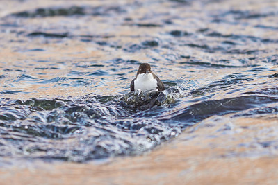 Up from the stream. White-throated dipper