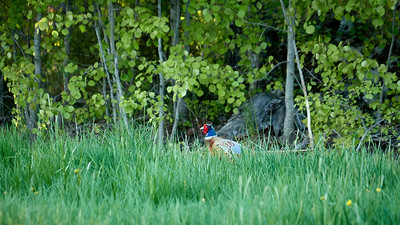 Hiding in the grass. Pheasant
