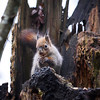 Red Squirrel on the BlackStump