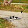 Eurasian magpie evening walk