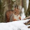 The Smile. Red squirrel