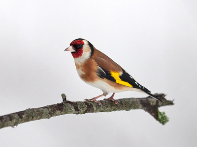 European Goldfinch with white background