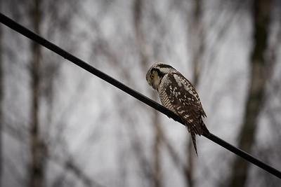 Northern hawk-owl 4