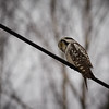 Northern hawk-owl 4