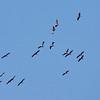 Eurasian crane migration