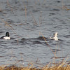 Smew and Goldeneye