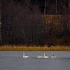 Whooper swan family photos