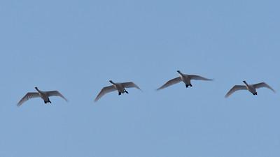 Late Flight- Whooper Swan