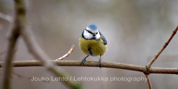 Sinitiainen, Parus caeruleus - Blue Tit