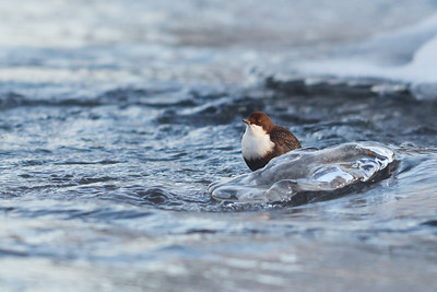 White-throated dipper on the rocks