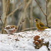 Redpolls and greenfinches
