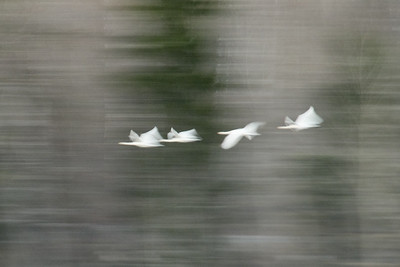 Tapestry. Whooper Swan