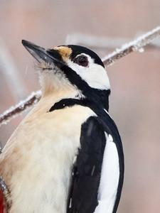 Great spotted woodpecker portrait