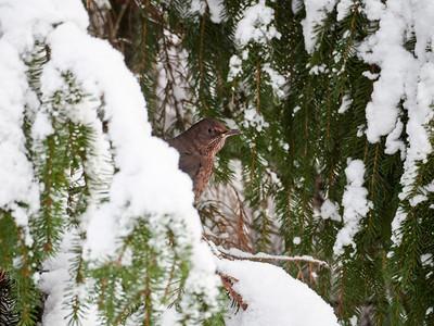 Let's play Peekaboo. Eurasian blackbird