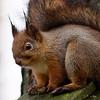 Red Squirrel portrait 1