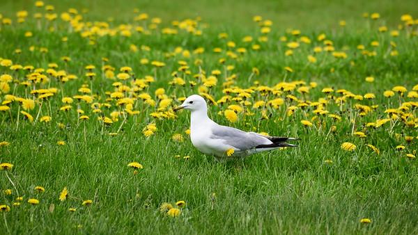 Hippie gull flower power