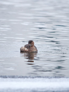 Little grebe and the cold blue river