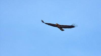 Whitetailed eagle