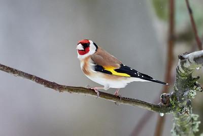 European Goldfinch in the rain