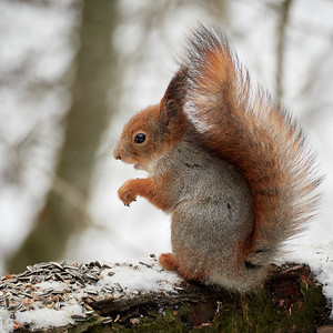 Lunchtime. Red squirrel