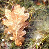 Thin layer of ice covering this lovely oak leaf.