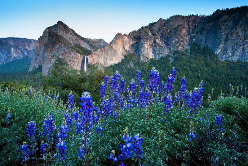 California lupine overlook Bridalveil Falls in Yosemite National Park