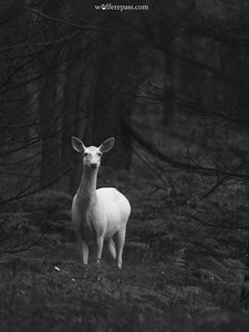 Albino Deer, Wisconsin, USA