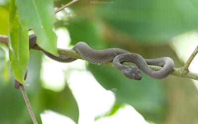 Mangrove Pit Viper