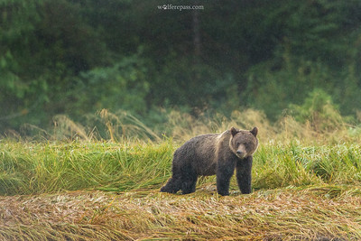 Grizzly in Rain 2