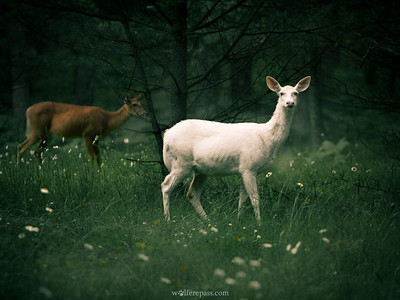 White-tailed Deer (Albino)