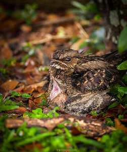 Large-tailed Nightjars
