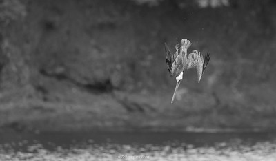 Brown Pelican Diving 2