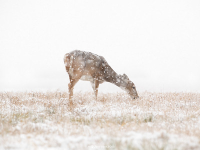 Doe in Snow 1
