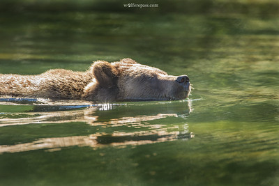 Grizzly Swimming