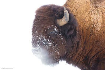 Bison in Snow III