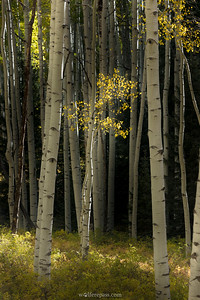 Aspen Clearing