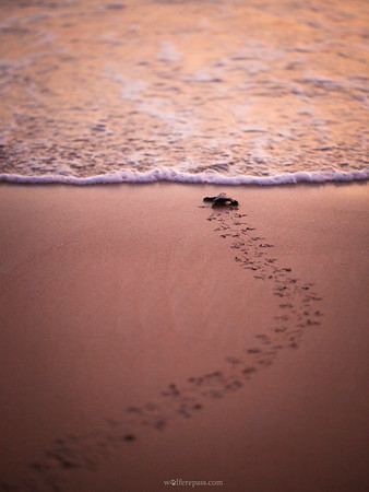 Olive-Ridley Turtle Hatchling (IUCN Vulnerable)