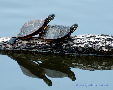 Turtles, Frogs...