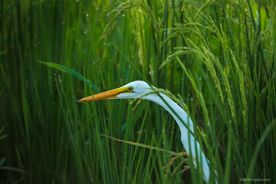 Great Egret in Rain