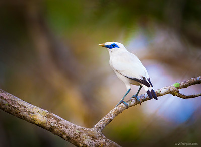 Bali Myna (Critically Endangered)