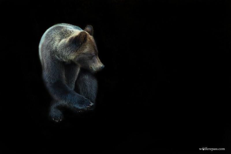 Brown Bear w/ Blackground