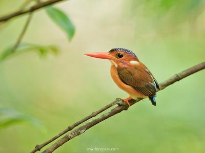 Sulawesi Dwarf-Kingfisher