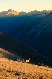 Long's Peak Elk