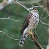 Juvenile Sharp Shinned Hawk